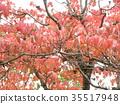 四照花 楓樹 紅楓 35517948