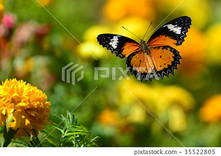 Orange butterfly flying  35522805