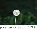 ปุย Dandelion 35522933
