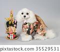 สุนัขสีขาวแต่งกายด้วยคาโดมัตสึและเสื้อผ้าที่ใส 35529531