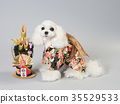 สุนัขสีขาวแต่งกายด้วยคาโดมัตสึและเสื้อผ้าที่ใส 35529533