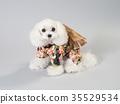 สุนัขสีขาวสวมชุดที่ชัดเจน 35529534