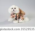 สุนัขสีขาวสวมชุดที่ชัดเจน 35529535
