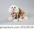 สุนัขสีขาวสวมชุดที่ชัดเจน 35529536