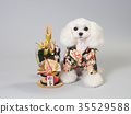 สุนัขสีขาวแต่งกายด้วยคาโดมัตสึและเสื้อผ้าที่ใส 35529588