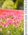 郁金香 郁金香花丛 花朵 35530123