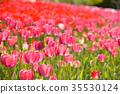 鬱金香 鬱金香花叢 花朵 35530124