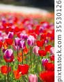 鬱金香 鬱金香花叢 花朵 35530126