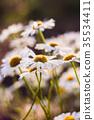 Field chamomiles close-up in blur 35534411