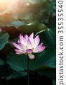 pink lotus flower are blooming 35535540