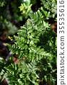 Foot Ferns or Rabbitsfoot, Hairsfoot. 35535616