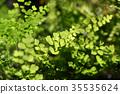 Bush Maidenhair Fern, Common Maidenhair Fern 35535624