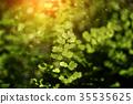 Bush Maidenhair Fern 35535625