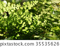 Bush Maidenhair Fern, Common Maidenhair Fern 35535626