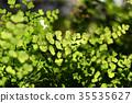 Bush Maidenhair Fern, Common Maidenhair Fern 35535627