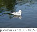 紅嘴鷗 白色 鳥嘴 35536153