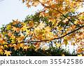 maple, tree, wood 35542586