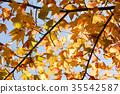 maple, tree, wood 35542587
