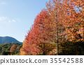 maple, tree, wood 35542588