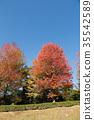 maple, tree, wood 35542589