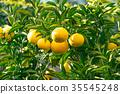 ส้มชนิดผลไม้ที่มีรสเปรี้ยว※ฉันไม่ทราบชนิดที่ดีโปรดใช้เป็นรูปภาพ 35545248
