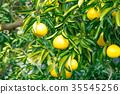 ผลไม้,ส้มแมนดาริน,อาหาร 35545256