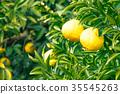 ผลไม้,ส้มแมนดาริน,อาหาร 35545263