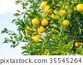 ผลไม้,ส้มแมนดาริน,อาหาร 35545264