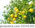 ผลไม้,ส้มแมนดาริน,อาหาร 35545265