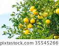 ผลไม้,ส้มแมนดาริน,อาหาร 35545266