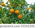 ผลไม้,ส้มแมนดาริน,อาหาร 35545295