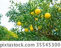 ส้มชนิดผลไม้ที่มีรสเปรี้ยว※ฉันไม่ทราบชนิดที่ดีโปรดใช้เป็นรูปภาพ 35545300
