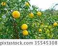 ส้มชนิดผลไม้ที่มีรสเปรี้ยว※ฉันไม่ทราบชนิดที่ดีโปรดใช้เป็นรูปภาพ 35545308