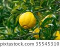 ส้มชนิดผลไม้ที่มีรสเปรี้ยว※ฉันไม่ทราบชนิดที่ดีโปรดใช้เป็นรูปภาพ 35545310