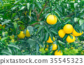 ผลไม้,ส้มแมนดาริน,อาหาร 35545323