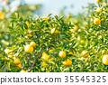 ผลไม้,ส้มแมนดาริน,อาหาร 35545325