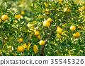 ผลไม้,ส้มแมนดาริน,อาหาร 35545326