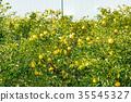 ผลไม้,ส้มแมนดาริน,อาหาร 35545327