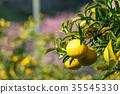 ผลไม้,ส้มแมนดาริน,อาหาร 35545330
