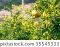 ส้มชนิดผลไม้ที่มีรสเปรี้ยว※ฉันไม่ทราบชนิดที่ดีโปรดใช้เป็นรูปภาพ 35545333