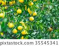 ผลไม้,ส้มแมนดาริน,อาหาร 35545341