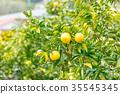 ผลไม้,ส้มแมนดาริน,อาหาร 35545345