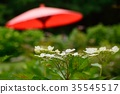 Hakuji Hydrangea 35545517