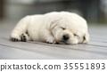 Lovely Labrador Retriever puppy sleeping 35551893