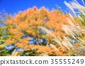 가을의 공원 억새 화수 35555249