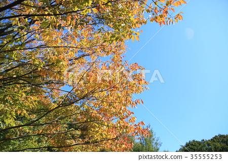 가을의 공원 느티 나무 물드는 35555253