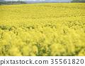 ดอกเรป,ฤดูใบไม้ผลิ,ทุ่งดอกไม้ 35561820