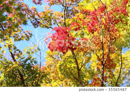 식물, 가을, 단풍나무 35565487