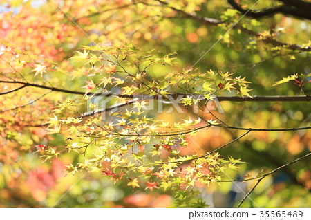가을의 공원 단풍 단풍 35565489