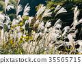 silver grass, zebra grass, autumn 35565715